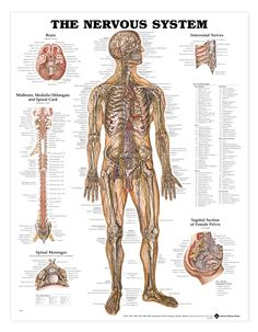 Nervous System Anatomical Chart - Nerves Anatomy Poster - AnatomyStuff