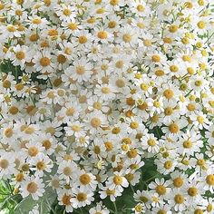 Tanacetum Victory Enkel is a beautiful White/Yellow seasonal cut flower - A pretty small chrysanthemum type flower with small button shaped flowers. July Flowers, Big Flowers, Flowers In Hair, Yellow Flowers, Beautiful Flowers, September Flowers, Country Wedding Flowers, Wedding Flower Girl Dresses, Wedding Bouquets