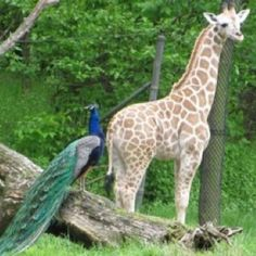 Bronx Zoo Giraffes, Elephants, Horton Hatches The Egg, Bronx Zoo, Nyc, New York, Happy, Animals, Travel