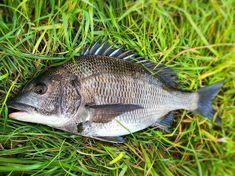 #黒鯛 #クロダイ #チヌ #45cm #釣り#fishing #fish #投げ釣り #福岡釣り #北九州釣り #釣りバカ #釣りキチ九平 Fish, Pisces