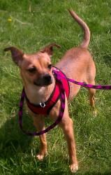 Mattie is an adoptable Miniature Pinscher Dog in Ringwood, IL. My name is Mattie. I'm about a 1.5 year old. My foster mom says I'm a sweet little girl and very funny. I like to follow my person all ov...