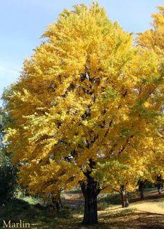 Ginkgo tree in the fall.