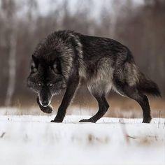 Эпичный волк.