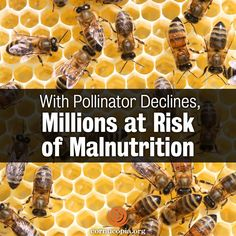 A new study shows that more than half the people in some developing countries could become newly at risk for malnutrition if crop-pollinating animals — like bees — continue to decline. More here: http://www.cornucopia.org/2015/02/pollinator-declines-millions-risk-malnutrition #savethebees #bees #saveourpollinators The Cornucopia Institute
