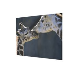 =>>Cheap          Giraffes 3 stretched canvas print           Giraffes 3 stretched canvas print lowest price for you. In addition you can compare price with another store and read helpful reviews. BuyThis Deals          Giraffes 3 stretched canvas print Online Secure Check out Quick and Eas...Cleck Hot Deals >>> http://www.zazzle.com/giraffes_3_stretched_canvas_print-192948567560544070?rf=238627982471231924&zbar=1&tc=terrest