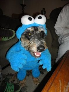 Cookie Monster Dog Costume  http://barnaclebill.hubpages.com/hub/cookiemonstercostumes