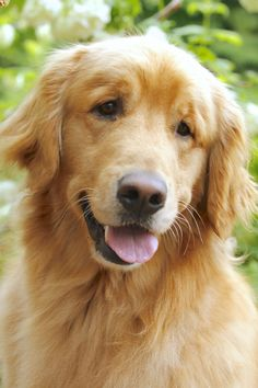 Dream dog #goldenretriever