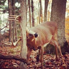 A deer rub describes the abrasions caused by a male deer rubbing his forehead and antlers against a tree.  In the late summer or early fall, male deer rub the velvet off their newly-acquired antler growth. The area between the forehead and antlers contains a large number of apocrine sweat glands, and leave a scent that communicates a challenge to other male deer while also attracting potential mates.