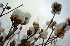 Snow Buds Taken by @Manda Kay <3
