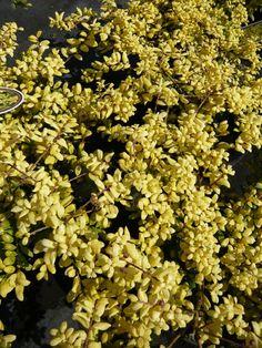 14 best verschiedene gartenpflanzen in der trendfarbe gelb images on pinterest garden plants. Black Bedroom Furniture Sets. Home Design Ideas