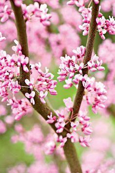 Practical spring flowering trees redbud has glorious purple pink 10 beautiful flowering trees organic gardening redbud mightylinksfo
