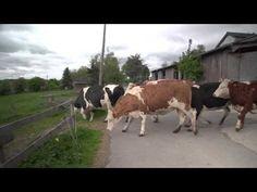 Vidéo d'un troupeau de vaches et leurs veaux libérés de l'enfermement