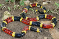 """Texas Coral Snake - Has the most potent toxin in the United States. Although they are usually a docile snake, they can and will bite if abused. Contrary to popular belief, Coral snakes do not have to """"chew"""" their intended victim to inject venom. They are in the same family of snakes as the cobras, sea snakes and mamba's. They are found throughout the eastern, central and south Texas."""