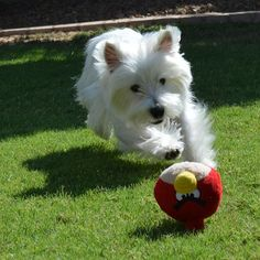 .get it West Highland White, White Terrier, White Dogs, Rainbow Bridge, Westies, Scottie, Dog Breeds, Creatures, Animals