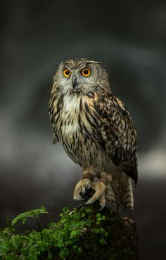 ~~Fudge, European Eagle Owl (Bubo bubo) by Matt Cattell~~