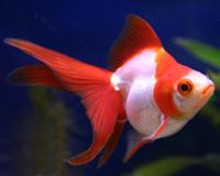 Exotic Goldfish - Ryukin Goldfish - Red and White Ryukins like this one are very common in the US