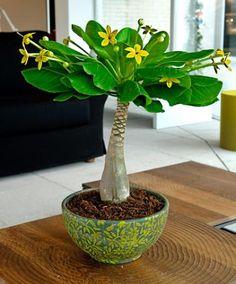 Hawaiipalm - Hawaiipalmen (Brighamia insignis) är en mycket speciell och dekorativ krukväxt. Nya blad bildas i knoppen, medan de gamla nedtill gulnar och stöts bort. Dessa kan helt enkelt brytas av och därmed bildas den karaktäristiska palmstammen.