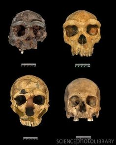 Homo skull specimens.  Three fossil cast reconstructions of early human skulls…