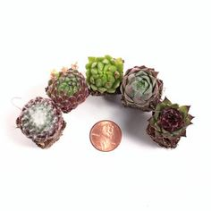 Individual succulent plugs are a great way to get an assortment of rooted succulents. Pick Sempervivum, Echeveria, or other soft succulents. Where To Buy Succulents, Overwintering, Echeveria, Rosettes, Plugs, Roots, Mini, Gardening, Corks