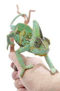 veiled chameleon care sheet !