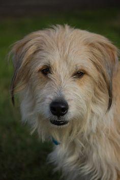 TOBY Terrier Mix • Adult • Male • Large Humane Society of Uvalde Uvalde, TX