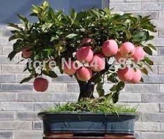 Resultado de imagen para bonsai con frutos