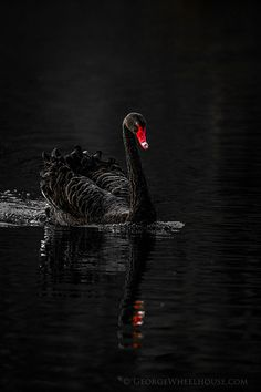 Black Swan by George