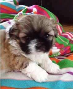 16 Best shih tzu puppy for sale images in 2016 | Baby shih