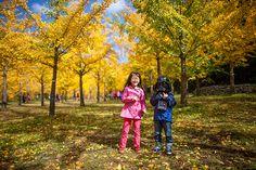 노란 가을 길에 물들다 홍천 은행나무 숲