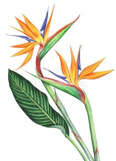 of paradise flowers isolated on white background. Bird of paradise flowers isolated on white background.,Bird of paradise flowers isolated on white background. Bird Of Paradise Tattoo, Birds Of Paradise Plant, Birds Of Paradise Flower, Paradise Garden, Watercolor Bird, Watercolor Background, Watercolor Illustration, Hand Illustration, Background Pics