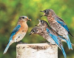 winning photo by michelle holland of kountze, texas of a bluebird feeding her young at the backyard feeding station