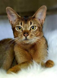 Abyssinian Cat | ... cat with loads of energy and personality, then the Abyssinian cat is a