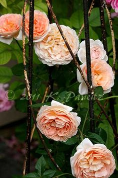 David Austin English Rose 'Abraham Darby' -one of my favorites!