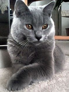 Chartreux Cat Pictures | Top Cat Directory