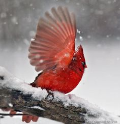 what is more beautiful than a Cardinal? A Cardinal in the snow ! Pretty Birds, Love Birds, Beautiful Birds, Cardinal Birds, Theme Noel, Mundo Animal, All Gods Creatures, Bird Watching, Bird Feathers