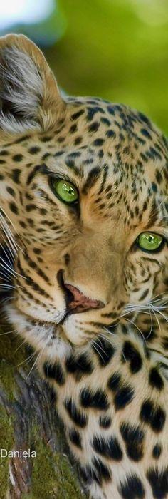 Aww so beautiful Beautiful Cats, Animals Beautiful, Cute Baby Animals, Animals And Pets, Big Cats, Cute Cats, Jaguar, Wild Tiger, Unique Cats