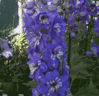 Delphinium pacificum 'Blue Bird'