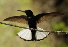 beija-flor-preto (Florisuga fusca) (by Claudia Covolan)