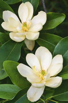 Southern Magnolia: As iconically Southern as sweet tea and bluegrass bands, this native broadleaf evergreen tree is a landscape staple across the region.