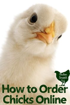 Ordering day old chicks can be overwhelming. Use this guide to ordering chicks from online hatcheries to make the process easier. Keeping Chickens, Raising Chickens, Baby Chickens, Chickens Backyard, Heritage Chickens, Day Old Chicks, Diy Chicken Coop Plans, Chicken Treats, Eggs