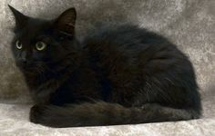 Sandusky, OH. Gaia. URGENT! Domestic Long Hair • Young • Female • Medium. Humane Society of Erie County. Petfinder link included.