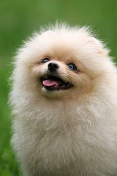 Stop being so cute, you stupid pomeranian!