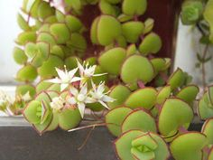 Crassula pellucida is sweet, ground-hugging succulent, spreading into mats of beautiful geometric foliage. Crassula Succulent, Succulent Pots, Echeveria, Cacti And Succulents, Planting Succulents, Planting Flowers, Hens And Chicks, Cactus Y Suculentas, Live Plants