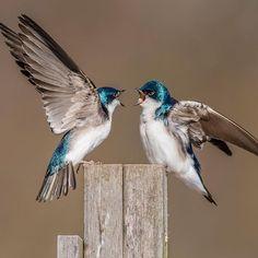 Tree Swallow by Morris Finkelstein. Location: Allen's Meadows, Wilton, CT.