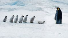 Emperor penguin adult and chicks, Snow Hill Island, Antarctica (© Mike Hill/Getty Images)