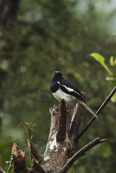 Oriental Magpie, Palsambe, Kolhapur,Maharashtra