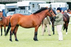 New Forest Pony - mare Wellhouse Florence