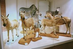 Group of preserved Quaggas at Mainz Museum, Germany - photo by Tim May, via ZooChat