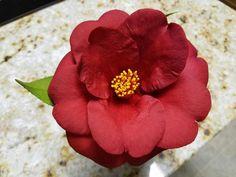 Royal Velvet (Camellia japonica)
