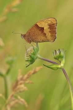 Ochsenauge (Buphthalmum salicifolium) - nahe Euerdorf (UFR), 14.06.2014 Moth, Butterflies, Insects, Nature, Little Flowers, Naturaleza, Butterfly, Nature Illustration, Off Grid